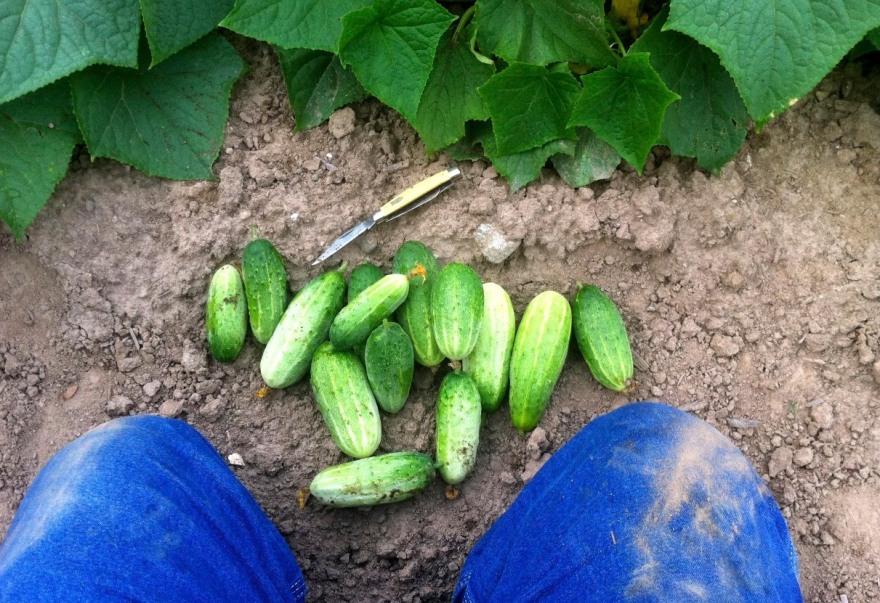 pickling cukes
